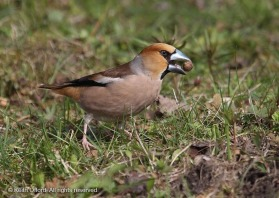 Hawfinches are capable of astonishing feats of strength, quite capable of cracking open cherry stones.