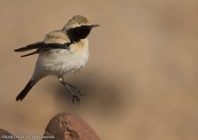 if you are a wheatear enthusiast then Morocco is a good country to visit, with 8 species to be seen. They are all different in their own way and are one of the most appealing of all bird families. This Desert Wheatear was displaying at the time of the pho