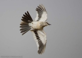 the flambuoyant aerial loop of the Hoopoe Lark is one of the more spectacular of all bird display routines.