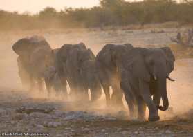 AfricanElephants1