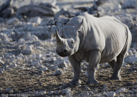 Continuously threatened by poachers, Namibia has one of the world's most stable populations of Black Rhino