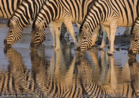 The reflections of these zebra in the water made for an irresistable shot.
