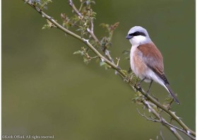 Almost extinct in Britain, the Red-backed Shrike is still found throughout the Pyrenees.