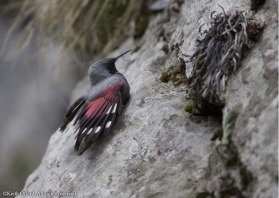 The flicking crimson wings of the elusive Wallcreeper help reveal it on vast cliff faces.