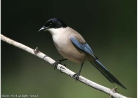 The isolated Iberian Azure-winged magpie population seems a long way from its Asian counterparts
