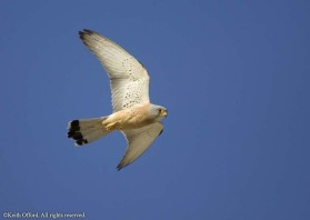 The adult male Lesser Kestrel is almost white on the underwing.