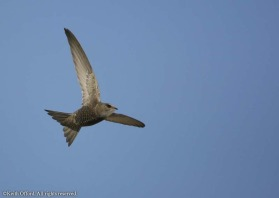 This was one of two which were sharp from around five hundred taken as a pair of Pallid Swifts flew to and fro in Trujillo.