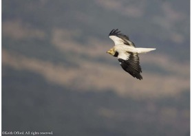 Unlike many other species of vulture, Egyptian Vultures are highly migratory.