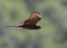 Once though of as being melanistic, the dark morph Montagu's Harrier is a rare variant.