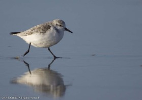 the clockwork-toy sprint along the beach is unmistakeable Sanderling behaviour. This one was photographed on the edge of the North Sea in Holland - perhaps it was trying to keep warm!
