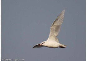 Outside the beeding season, the very white wings of the Mediterranean Gull are a good i.d. feature
