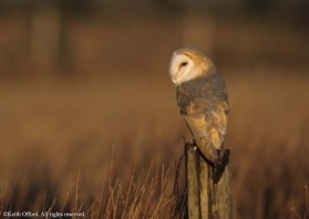 there are few parts of the world which do not have Barn Owls of one type or another. In Britain this species can be badly affected by adverse weather conditions, especially cold winters.