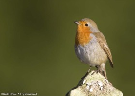 Britain is invaded by around 4 million Robins from the continent. The aggressive nature of this species is reflected in their need to sing and defend territory throughout the winter.