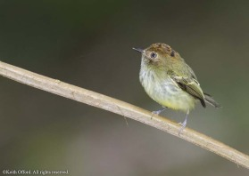 This tiny flycatcher is best located in the rainforest by its penetrating call.