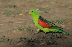 red-winged-parrot-kimberley.jpg