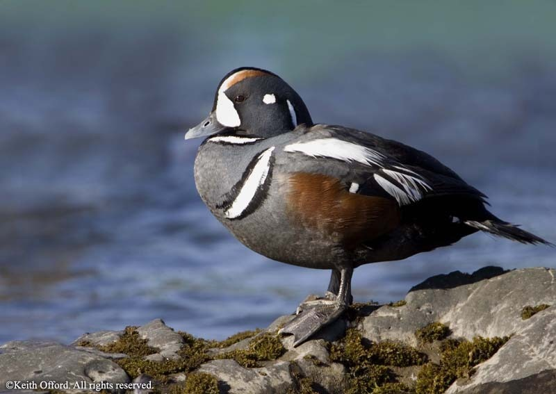 Harlequin Duck