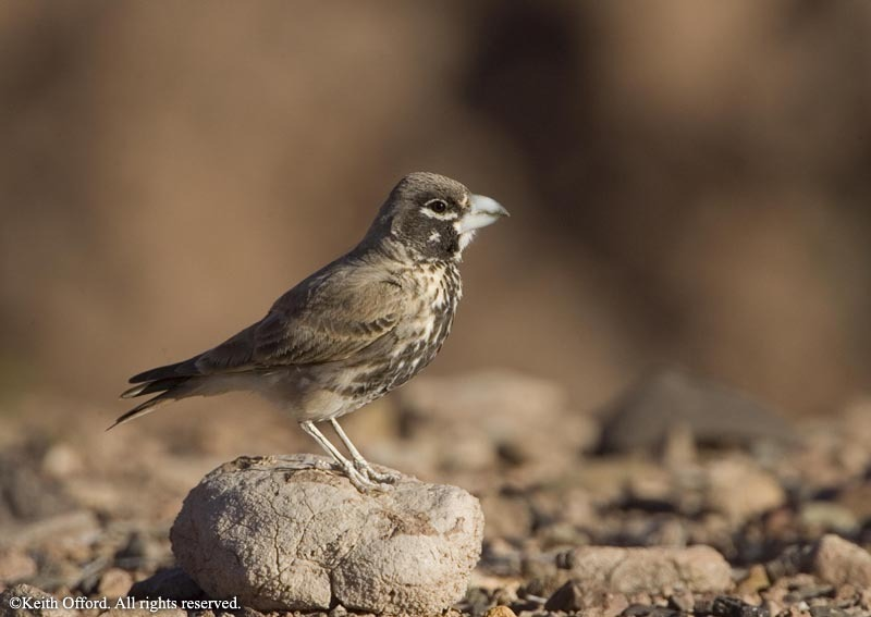 Thick-billed Lark